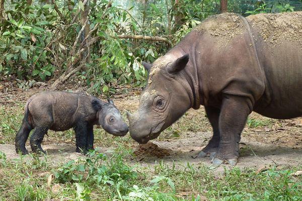 Tê giác Sumatra