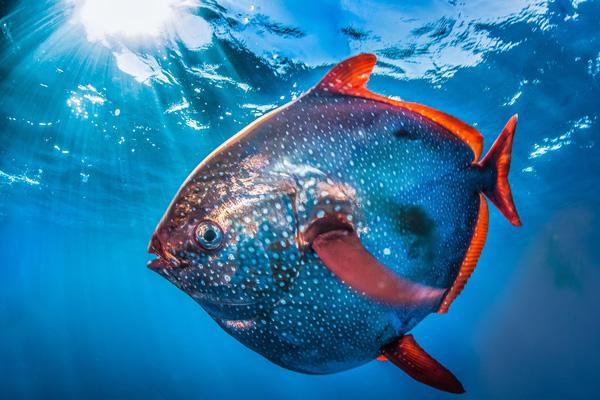 Cá mặt trời