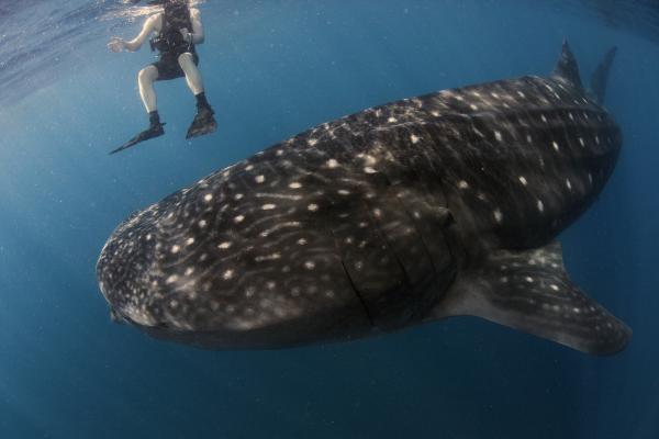 Cá mập voi