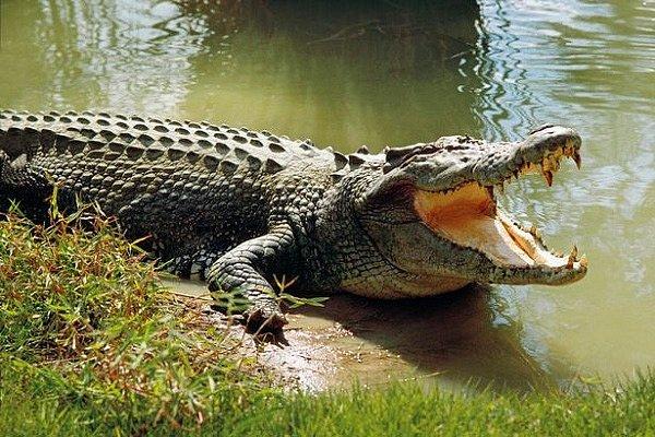 Ca sấu thích ăn đá